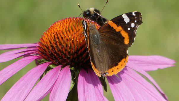 Echinacea Purpurea, Flower, Insects, Butterfly, Bee