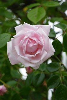 Rose, Pink, Rozenpracht, Garden, The Rose Garden