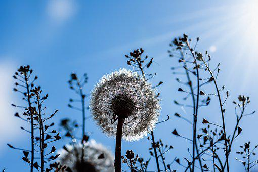 Dandelion, Seeds, Drip, Backlighting