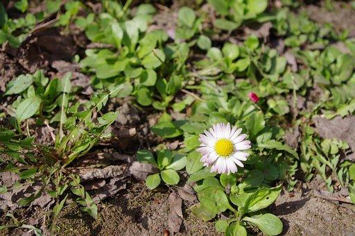 Daisy, Spring, Flower, Nature, Bloom, White, Blossom