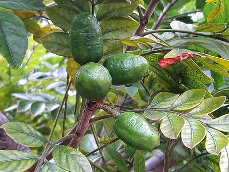 Siriguela, Fruit, The Fruit Is Green