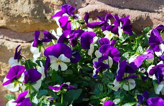 Viola, Flowers, 400–500, Pansy, Purple, Nature, Flora