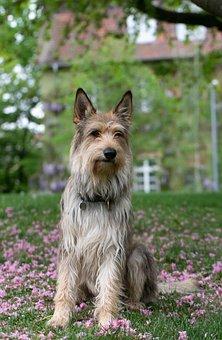 France, Berger Picard, Dog, Animal, Race, Herding Dog