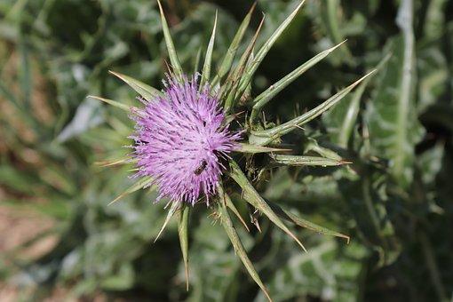 Thorn, Flower, Green, Purple, Nature