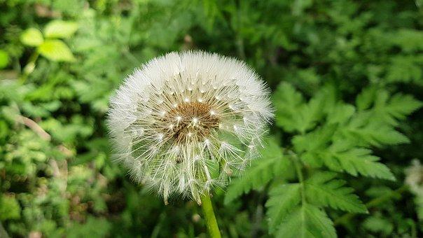 Dandelion, Lint, Overblown, Pasture, Fluff, Nature
