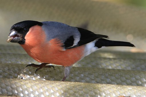 Bullfinch, Gimpel, Bird, Songbird, Nature, Pyrrhula