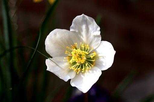 Helleborus Niger, Christmas Rose, White, Winter
