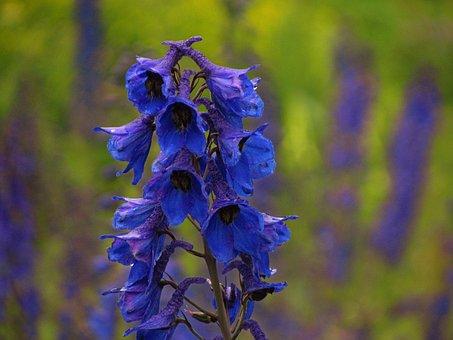 Delphinium, Flower, Larkspur, Blue, Bloom, Blossom