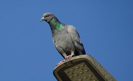 Bird, Rock Dove, Rock Pigeon, Columba Livia, Columbidae