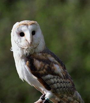 Barn Owl, Owl, Barn, Bird, Animal, White, Beak, Raptor