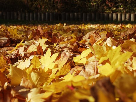 Fall Foliage, Maple Leaves, Fallen, Lying On The Ground