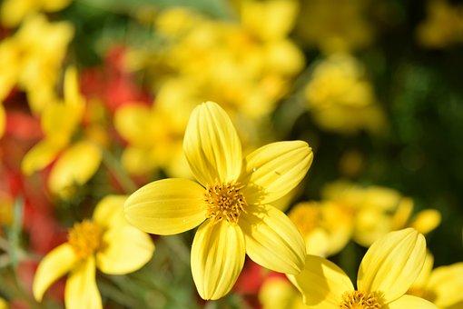 Gold Marie, Bidens Ferulifolia, Goldweizahn, Flowers