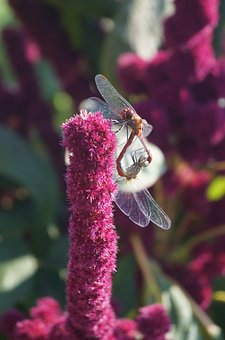 Dragonflies, Reproduction, Insect, Flight Insect