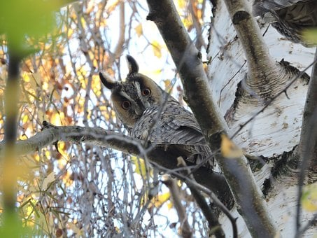 Owl, Long-eared Owl, Czech Budejovice, South Bohemia