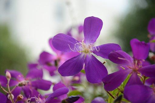 Purple Wild Flowers, Five Petal Flower