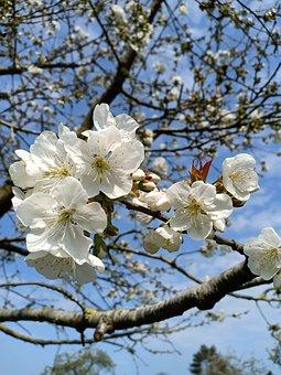 Bigarreau Napoleon, Cherry Tree