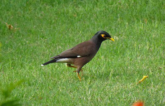 Common Myna, Indian Myna, Bird, Avian