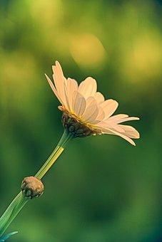 Flower, Marguerite, Daisy, Nature