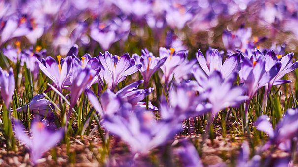 Crocus, Spring, Polyana, Flowers, Nature, Meadow