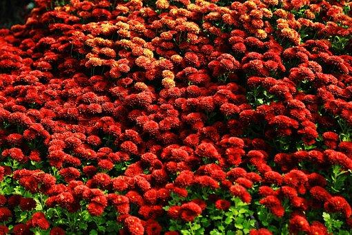 Nationnal Flower, Red, Bee, Flavor, Plant, Flower