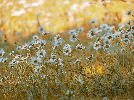 Meadow, Flower Meadow, Daisies, Spring, Flowers, Bloom
