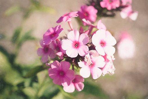 Phlox, Flower, Blossom, Bloom, Nature, Pink, Beautiful