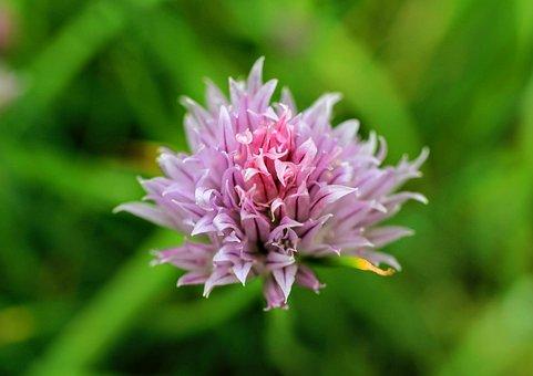 Flowers, Lilac, Purple, Small, Petals, Green, Plant