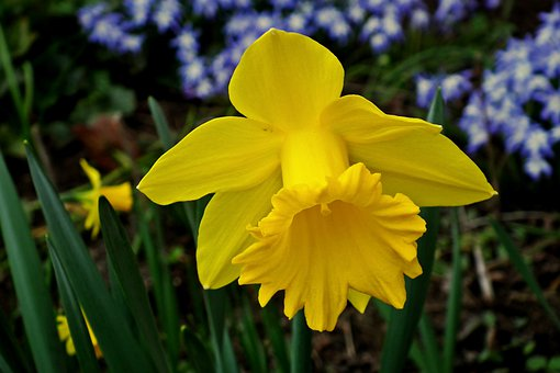 Daffodil, Flower, Spring, Nature, Yellow