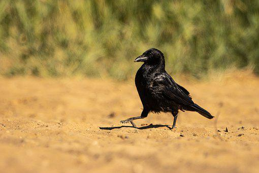 Raven, Crow, Bird, Nature, Sand, Run, Beach, Black