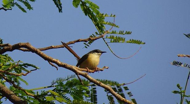 Bird, Warbler, Ashy Prinia, Ashy Wren-warbler