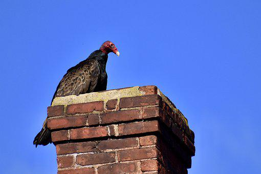 Turkey Vulture, Chimney, Spring
