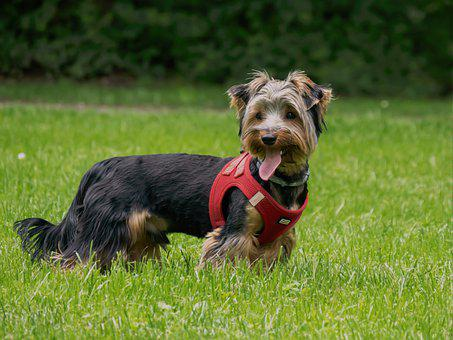 Yorkshire, Terrier, Dog, Pet, Puppy, Yorkie, Sweet