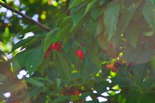 Cherry Tree, Summer, Nature, Red, Fruit, Cherries, Tree