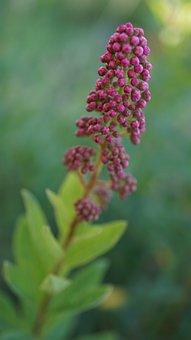 Bud, Ornamental Shrub, Flowers, Nature, Garden, Plant