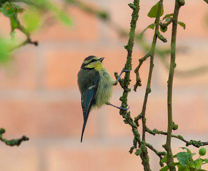 Bluetit On A Branch, Blue Tit, Tit, Small Bird