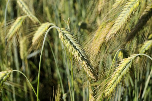 Wheat, Epi, Culture, Nature, Harvest