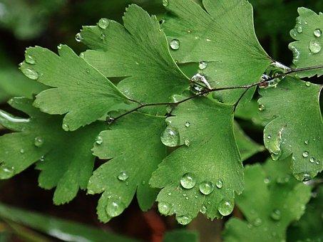 Fern, Plant, Maiden Hair Fern, Macro, Water Drops, Rain