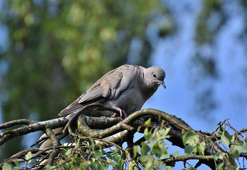 Dove, Collared, Bird, Animal, Foraging, Plumage