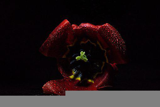 Tulip, Dark, Light, Drop Of Water, Haze