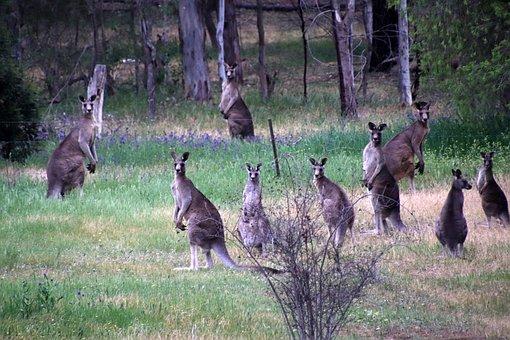 Animals, Australian, Native, Kangaroos, Wildlife