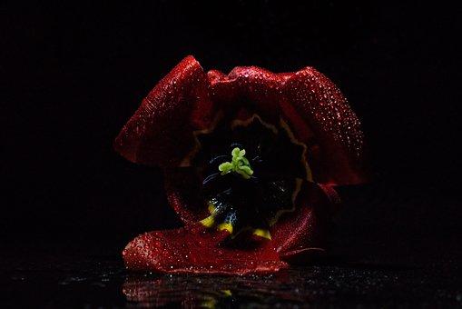 Tulip, Dark, Light, Drop Of Water, Haze, Close Up