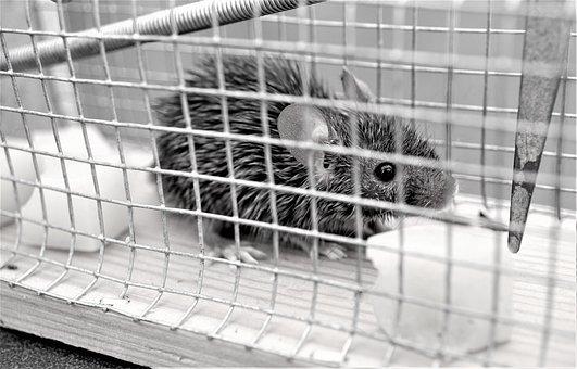 Mousetrap, Live Event, Mouse, Mammal