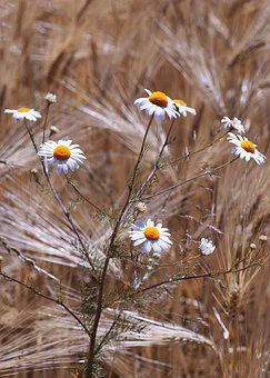 Chamomile, Field, Flowers, Daisy, Spring