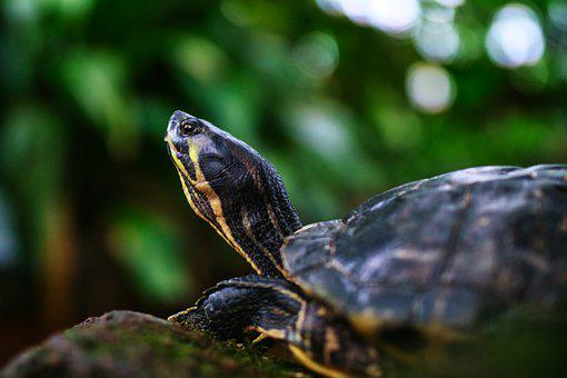 Turtle, Amphibians, Animal, Nature, Slowly, Green