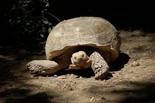 Turtle, Tortoise, Animal, Turtles