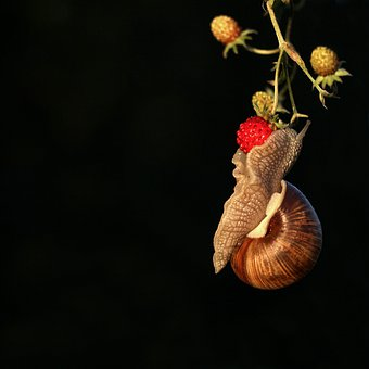Snail, Mollusc, On, Wild Strawberry, Berry