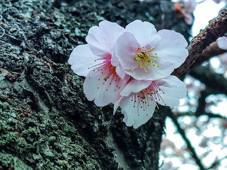 Cherryblossom, Japanese, Sakura, Flower, Spring, Japan