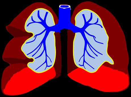 Lungs, Human, Anatomy, Bronchia, Bronchus, Bronchi