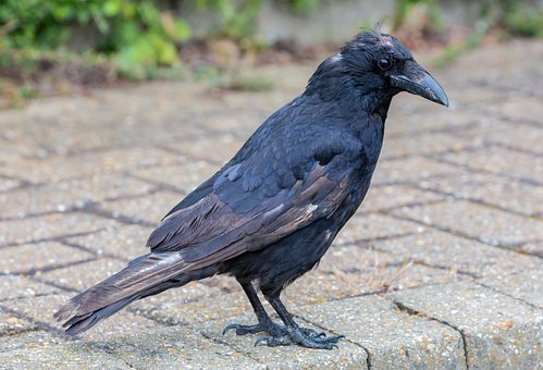 Old Crow, Bald Crow, Hurt Bird, Manky Crow, Inured Crow