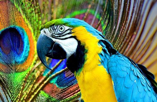 Parrot, Ara, Peacock, Pen, Wheel, Leon